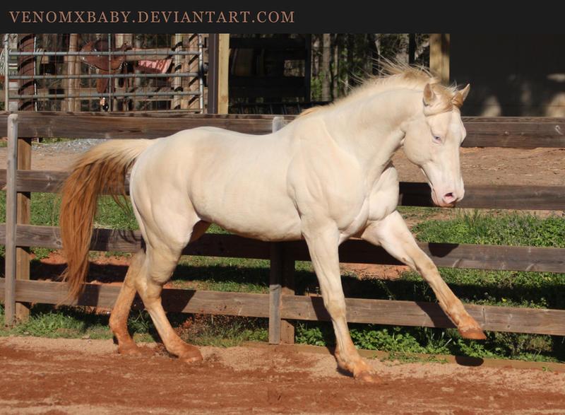 Perlino quarter horse stallion - photo#7