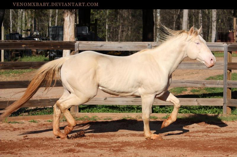 Perlino quarter horse stallion - photo#11