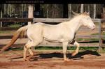 perlino stallion 6