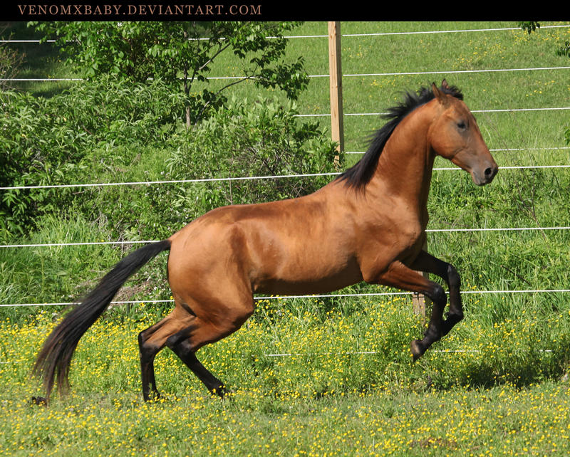 bay akhal-teke stallion 6 by venomxbaby