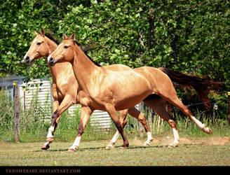 dun akhal teke 8 by venomxbaby