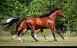 red bay akhal-teke stallion 1