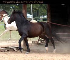 dark bay pony 1