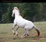 white appaloosa 1