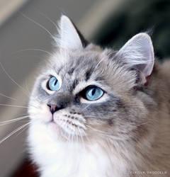 blue mink ragdoll 1 by venomxbaby