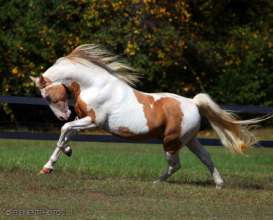 Champagne Paint Stallion By Venomxbaby