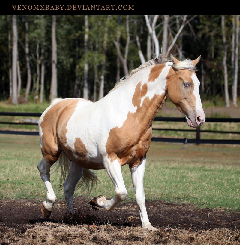 Gold Champagne Horse Gold Champagne Paint 2 by