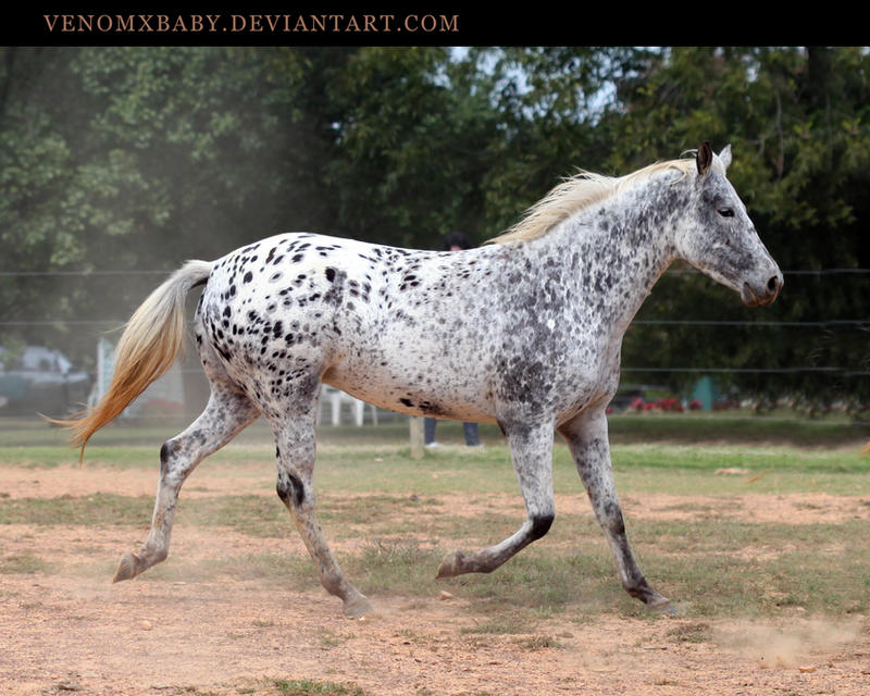 Image result for leopard appaloosa