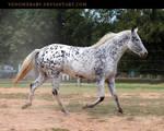 leopard appaloosa 3