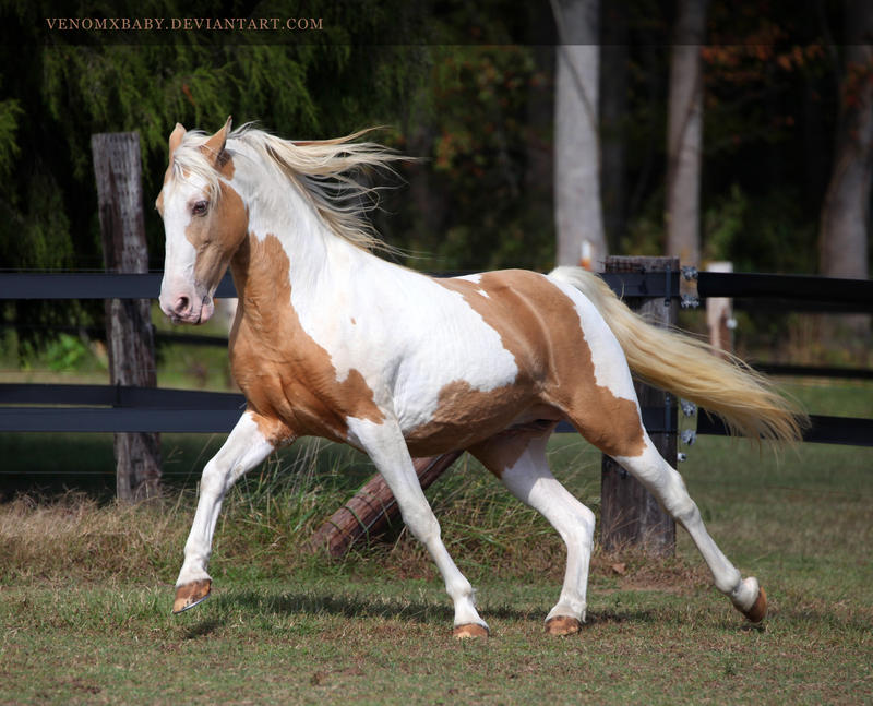 Gold Champagne Horse Gold Champagne Paint 3 by