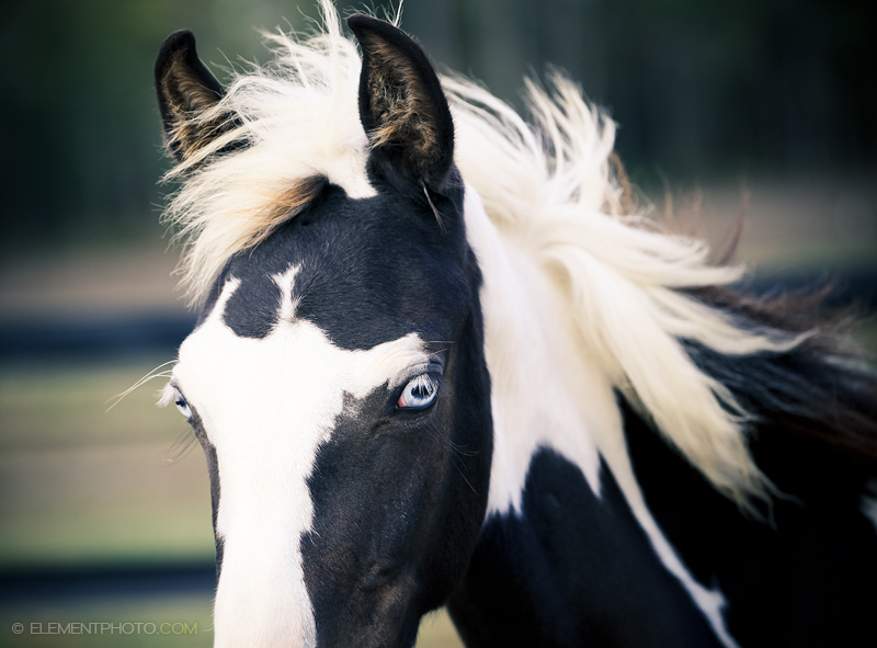 Black And White Paint Fell Pony