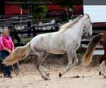 dapple gray walker 1