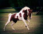 chestnut tobiano stallion