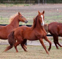 chestnut saddlebred 1 by venomxbaby