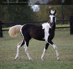 black paint filly 1