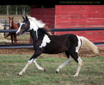 black tobiano filly 2