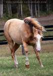 champagne foal 1
