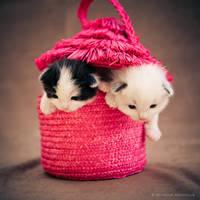 ragdoll kittens by venomxbaby