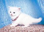 white ragdoll kitten