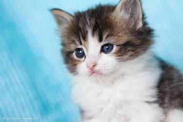 tabby ragdoll kitten by venomxbaby