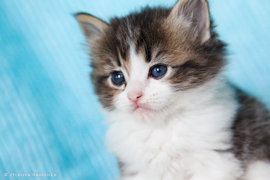 Tabby Ragdoll Kitten By Venomxbaby On DeviantArt