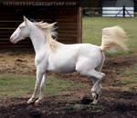cremello horse 1