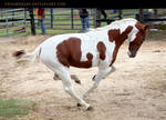 chestnut paint stallion 1