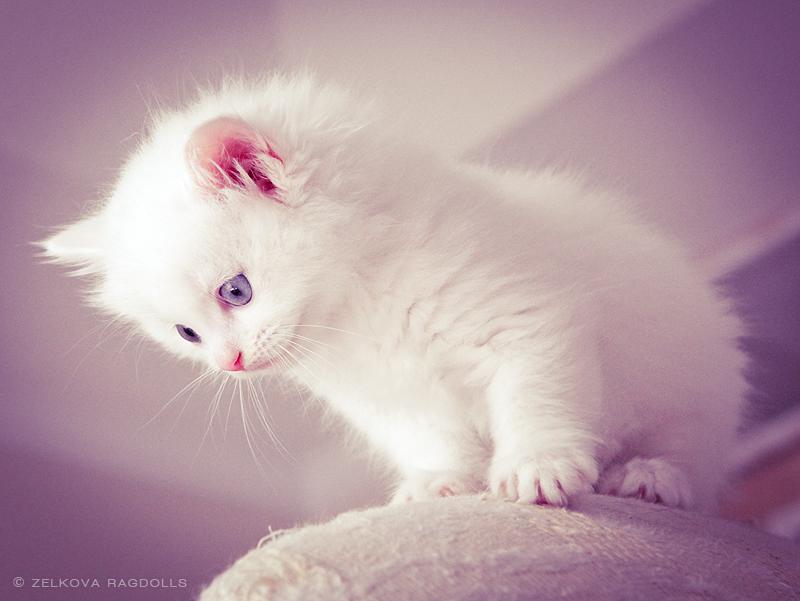 white ragdoll kitten by venomxbaby