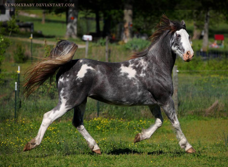 gray roan sabino mare 1 by venomxbaby
