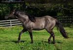 grullo stallion 1