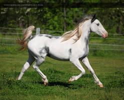 white gray overo paint 1 by venomxbaby