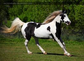 black white tovero 1 by venomxbaby