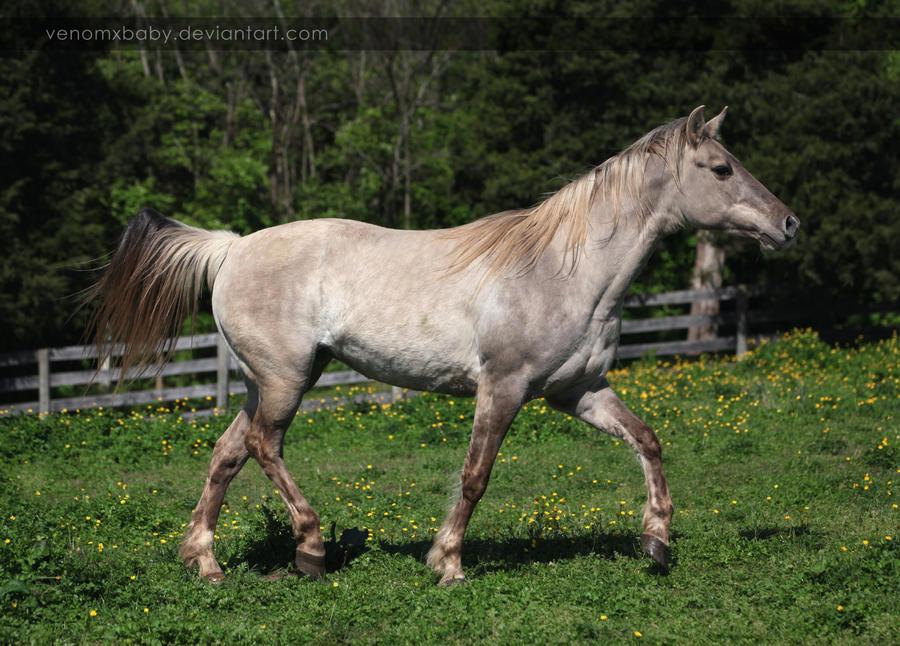 silver grulla mare 1 by venomxbaby