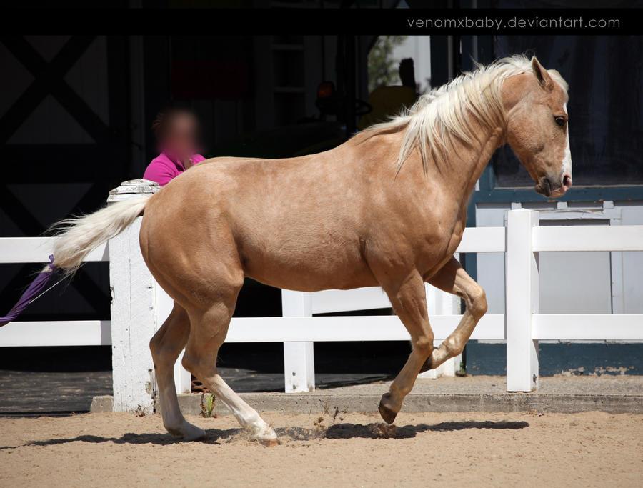 palomino quarter horse 1 by venomxbaby
