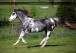 gray roan sabino mare 2