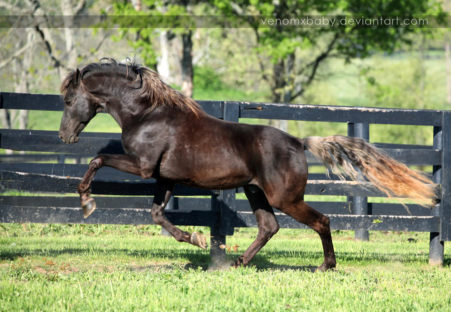 chocolate rocky stallion 1 by venomxbaby