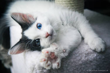 odd-eyed ragdoll kitten by venomxbaby