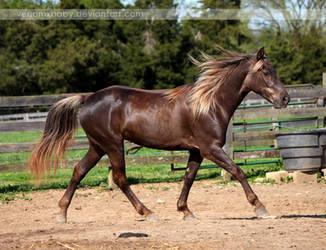 flaxen chocolate mare 1 by venomxbaby
