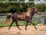 flaxen chocolate mare 1
