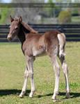 brown foal 1