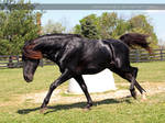 black stallion charge