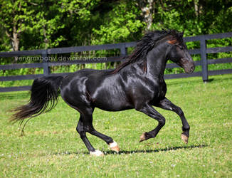 black stallion 2 by venomxbaby