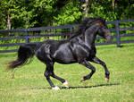 black stallion 2