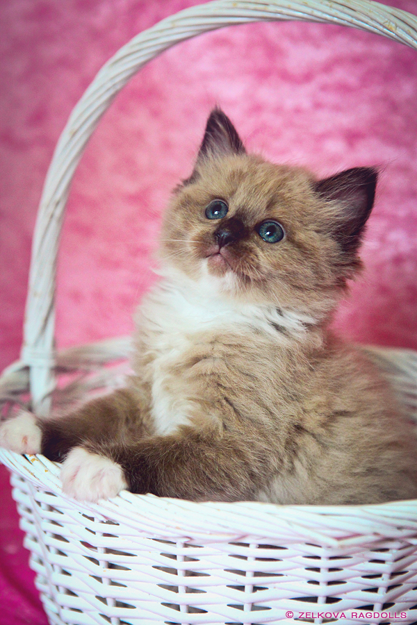 seal mink ragdoll kitten by venomxbaby