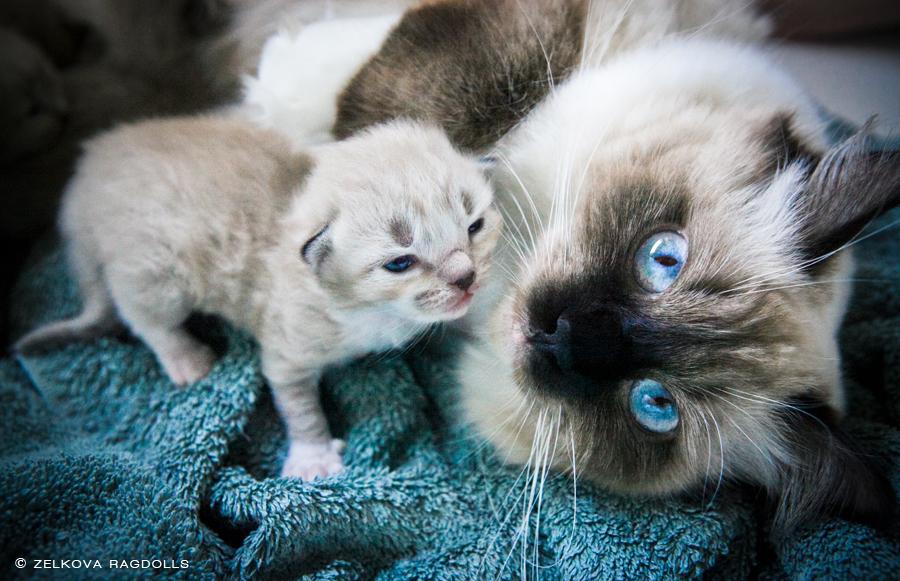 ragdoll cat mom and baby by venomxbaby