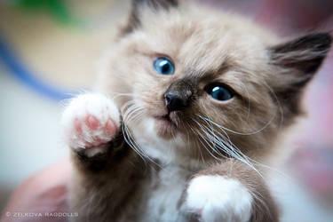 seal mink kitten by venomxbaby
