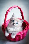lynx ragdoll kitten