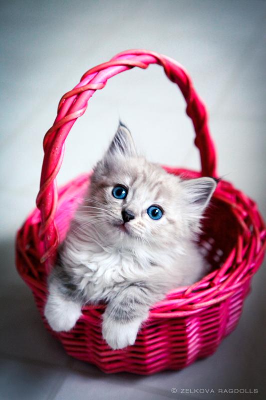 lynx ragdoll kitten by venomxbaby