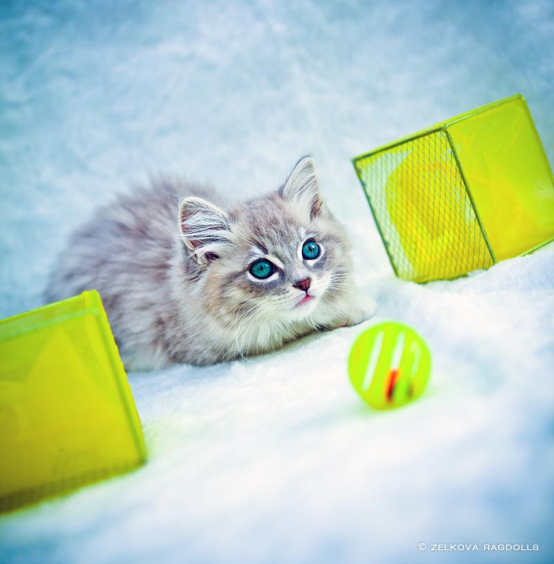 blue sepia ragdoll kitten by venomxbaby