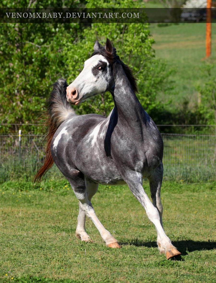 gray roan sabino mare 3 by venomxbaby